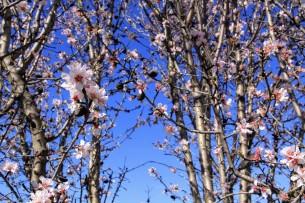 Цветение вишни /// Cherry blossom